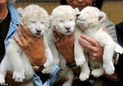 white baby lion cub in need of a home