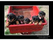READY NOW.Male and Female Rottweiler puppies. 11weeks old